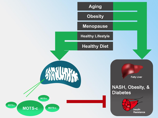 MOTS-c impact on the brain and metabolism