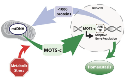 MOTS-C infographic showing metabolic stress and homeostasis